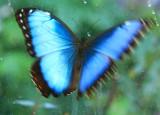 Blue-Morpho-WingFlutter.jpg