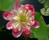 Lily-Pons3.jpg