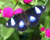 Australian Blue Moon aka Eggfly