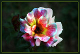 Tie Dyed Rose