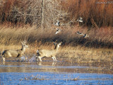 Pintails & Whitetails