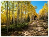 aspen in the kaibab national forest