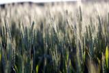 Green Kansas Wheat