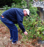 Buzzy Bear forages for Wild Berries