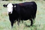 COW 101