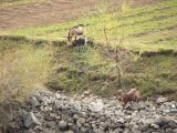 Wild goats are found right through the mountains