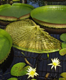 Large waterlily