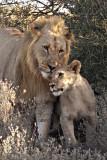 LIONS  SHAMWARI