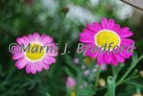 flowers8wtmk.jpg
