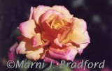 rose451wtmk.jpg
