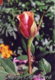 rosebud452wtmk.jpg