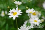 Flower31wtmk.jpg