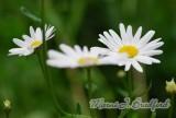 Flower33wtmk.jpg