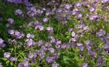 Purple Phacelia 1