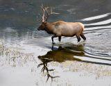 Elk-RYellowstone NP