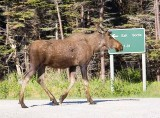 Green Point Moose.jpg