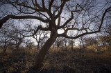 Gnarled trees, Eagle Tented Camp