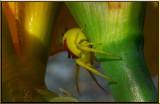 Yellow Iris Spider