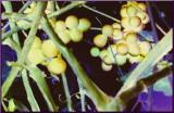Grape DNA
