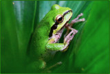 Cascadian Frog