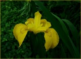 Japanese Iris 1.jpg