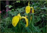 Japanese Iris 6.jpg