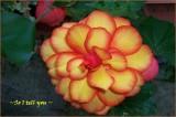 Diamond Begonia Sutra