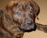 bull mastiff puppy