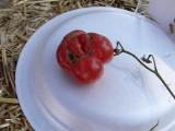 Ugliest Tomato