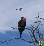 Frigate bird Kiritimati