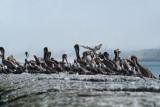 Pelicans of Humboldt Bay 3338.jpg
