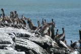 Pelicans of Humboldt Bay 3347.jpg