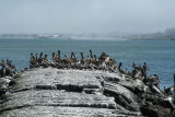 Pelicans of Humboldt Bay 3349.jpg