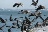 Pelicans of Humboldt Bay 3352.jpg
