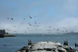 Pelicans of Humboldt Bay 3365.jpg