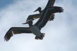 Pelicans of Humboldt Bay 3373.jpg