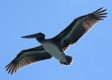 Pelicans of Humboldt Bay 3400.jpg
