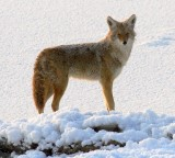 coyote229.jpg