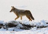 coyote29.jpg
