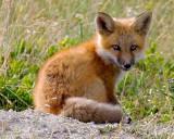 foxcub3.jpg