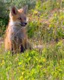 foxcub2.jpg