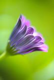 Mira Osteospermum 3