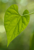 Morning Glory leaf