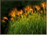 Zebra Grass.jpg
