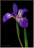 Water Iris.jpg