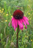 Echinacea atrorubens