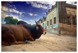 Cow's World