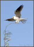 White-Tailed Kite landing