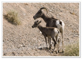 Bighorn Sheep -  photo 1 of 6