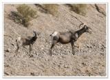 Bighorn Sheep -  photo 2 of 6